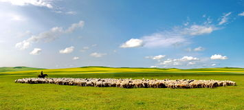 Овцы на обширном злаковике Стоковые Фото