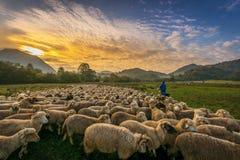 Овцы на поле в Трансильвании Румынии на заходе солнца стоковое фото rf