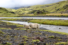 Овцы на поле лавы, Eldgja, Исландии стоковые фото