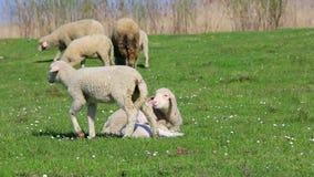 Овцы на поле луга видеоматериал