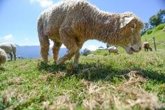 Овцы на прерии на ферме Cingjing Стоковое Изображение
