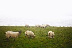 Овцы на скалах Downpatrick возглавляют в Ирландии Стоковое Изображение RF