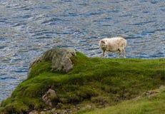 Овцы на скале в Фарерских островах Стоковая Фотография
