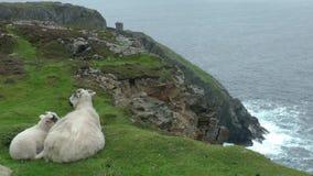 Овцы на скале сток-видео