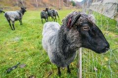 Овцы на скотном дворе в Норвегии Стоковое Фото