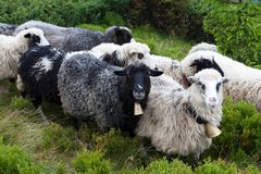 Овцы на следе в горах стоковое фото rf
