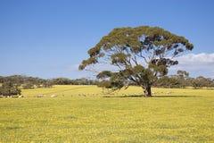 Овцы на луге с деревом Стоковые Фото