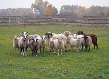 Овцы на лужке Стоковые Изображения