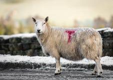 Овцы на утре зим Стоковая Фотография RF