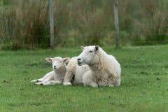 Овцы на ферме Новой Зеландии стоковое изображение rf