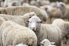 Овцы на ферме освободившееся государство Стоковое Изображение RF