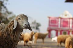 Овцы на ферме Стоковые Изображения RF