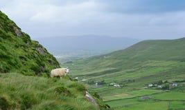 Овцы на холме Стоковые Изображения RF