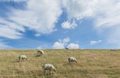 Овцы на Dike на Texel Стоковое фото RF