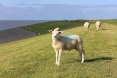 Овцы на dike около моря Wadden Стоковые Изображения