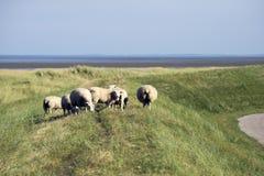 Овцы на dike Mano в Дании Стоковые Изображения RF