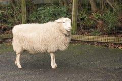 Овцы на petting зоопарке Стоковое Изображение RF
