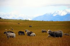 Овцы Новой Зеландии Стоковые Фотографии RF