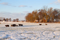Овцы обрабатывают землю с выгоном в снежке во время зимы Стоковая Фотография