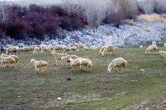Овцы, овцы в овцах, пася овец, прибытий и овец весны, изображений симпатичных овец, шерстей и овец, Стоковое Изображение