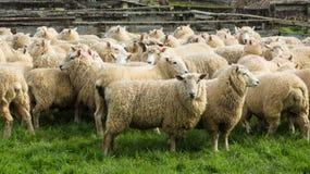 Овцы овцы стоковое изображение