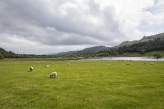 Овцы около озера Стоковое Изображение