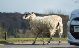Овцы дороги Стоковые Изображения