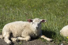 Овцы отдыхая на траве на Andenes в Норвегии стоковое изображение