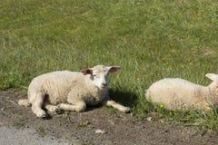 Овцы отдыхая на траве на Andenes в Норвегии стоковая фотография