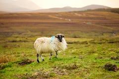 Овцы отмеченные при красочная краска пася в зеленых выгонах Ирландии Стоковое фото RF
