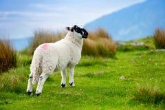 Овцы отмеченные при красочная краска пася в зеленых выгонах Ирландии Стоковые Фотографии RF
