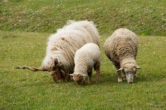 Овцы отца, матери и ребенка Стоковое Фото