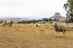 Овцы отдыхая в пастбище стоковая фотография rf