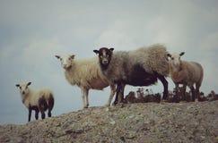 овцы одичалые Стоковое Фото