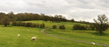 овцы панорамы поля Стоковые Изображения