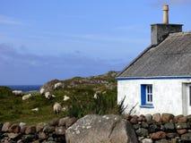 Овцы пасут около коттеджа ` s Crofter на атлантическом побережье  Стоковое фото RF
