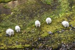 Овцы пася в горах лета Landmannalaugar Isla Стоковое фото RF