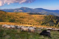 Овцы пася в горах Стоковые Изображения