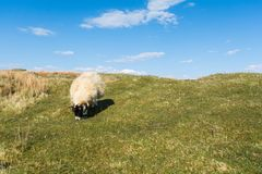 Овцы пася в гористых местностях Шотландии Стоковое Фото