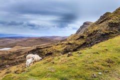 Овцы пася в гористых местностях стоковые изображения rf