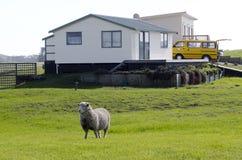 Овцы пася в задворк Стоковая Фотография RF