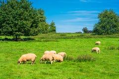 Овцы пася в лужке Стоковое фото RF