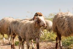 Овцы пася в одичалом Стоковые Изображения