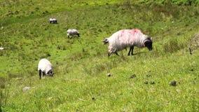 Овцы пася в поле видеоматериал