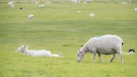 Овцы пася в сочном зеленом поле Стоковые Изображения RF