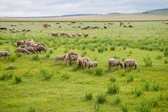 Овцы пася в табуне на фоне степи Стоковые Фото