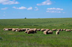 Овцы пася в траве поголовье Стоковая Фотография RF