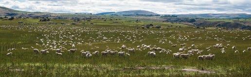 Овцы пася в траве стоковое изображение rf
