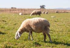 Овцы пася в луге эстремадуры Стоковые Фотографии RF