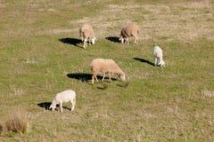 Овцы пася в луге эстремадуры Стоковое Изображение
